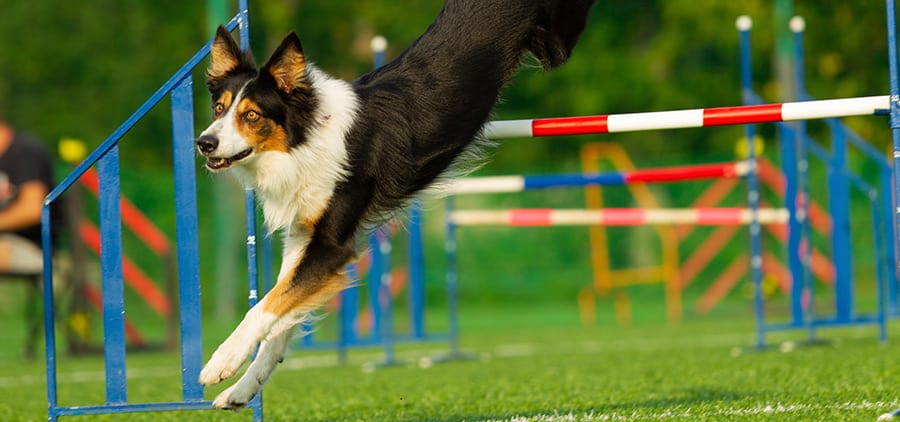 How Tall Are Dog Agility Jumps-large