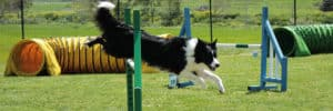 Is Dog Agility Expensive?