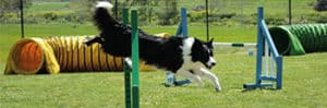 Is Dog Agility Expensive