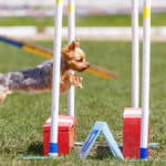 Is Agility Good Or Bad For Dogs - Benefits and Safety