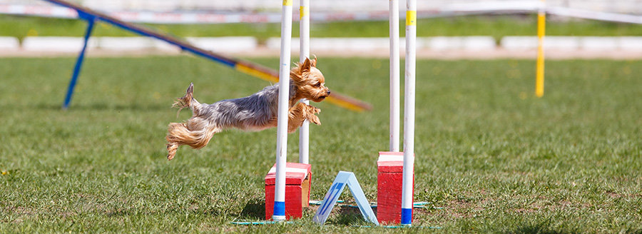 Is agility good or bad for dogs?