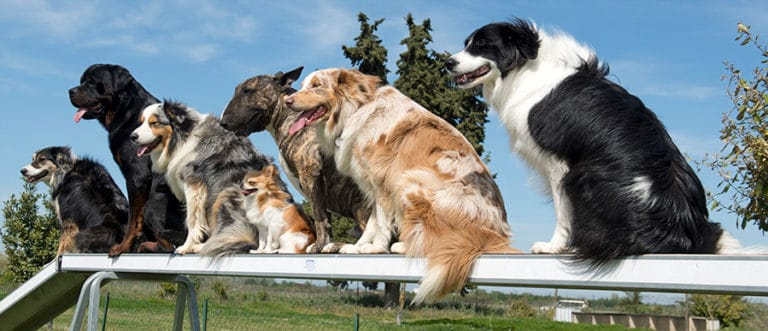What Dog Breeds Can Do Agility