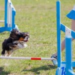 What Is A Dog Agility Course And What Are The Obstacles?