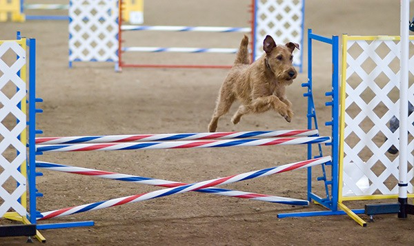 How Tall Are Dog Agility Jumps? (plus images of Jump types)