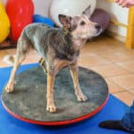 What Is A Dog Agility Wobble Board And How Is It Used?