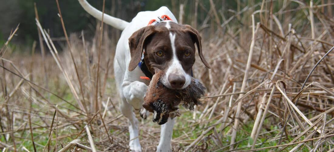 Best Dog Food for Hunting Dogs