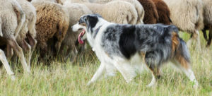 Herding dog looking after sheep in a field. Great toys for herding dogs help them build a strong mind.