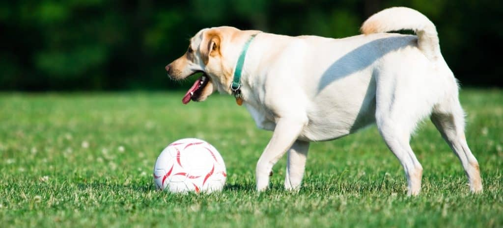 Dog playing with a soccer ball in the grass