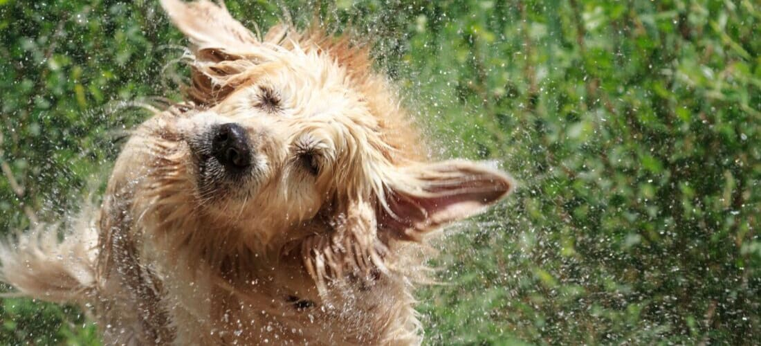 A wet dog shaking water off of his fur