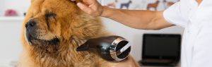 Groomer drying a dog with a dryer