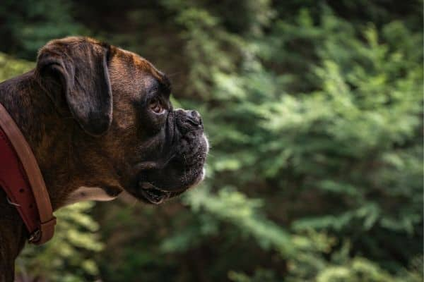 Boxer Dog out in the woods