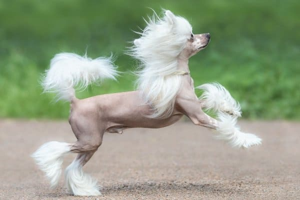 Chinese Crested prancing