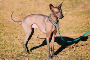 Xoloitzcuintli - Mexican Dog Breed