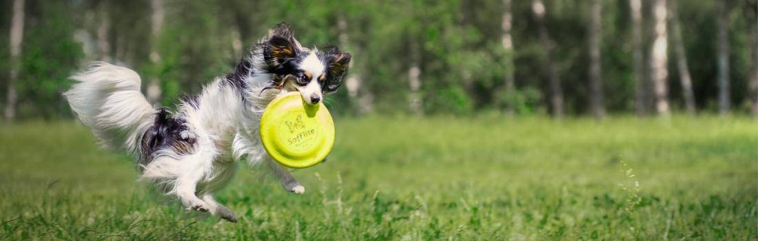 Small dog jumping in the air to catch a frisbee