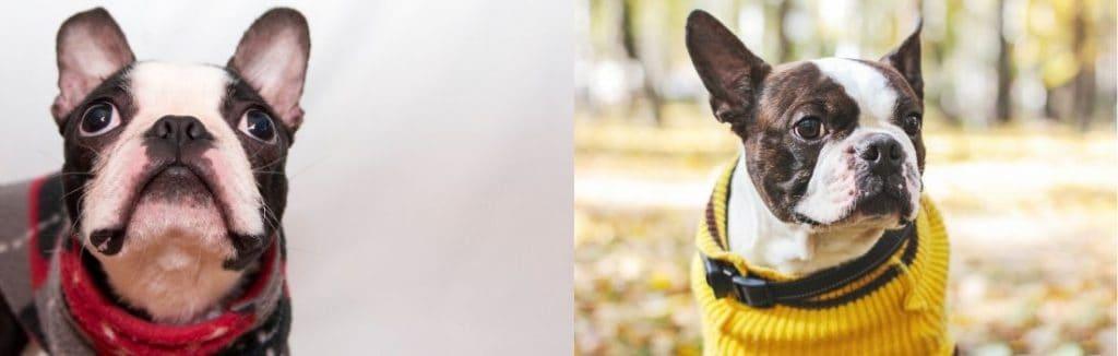 Two Boston Terriers wearing sweaters