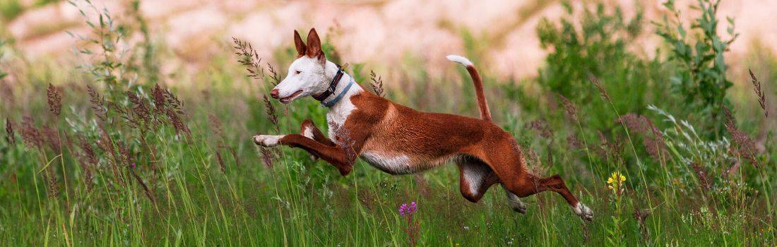 Ibizan Hound running at a fast speed