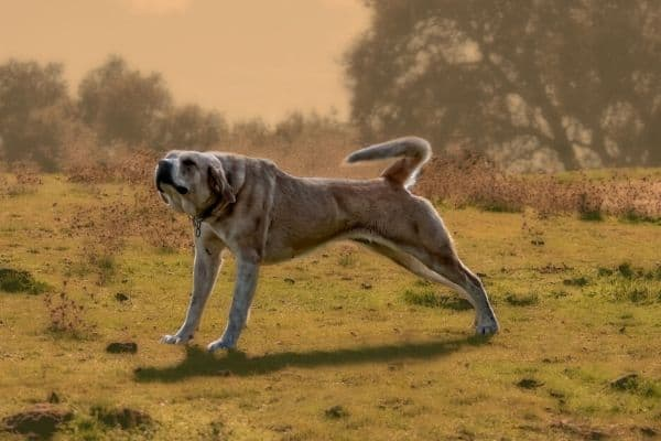 Anatolian Shepherd stretching in a field