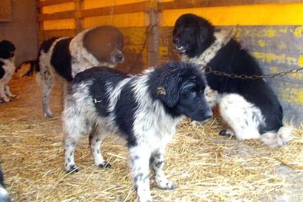 Bulgarian Shepherd Dogs in a barn