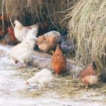 Will Livestock Guardian Dogs (LGDs) Protect Chickens?