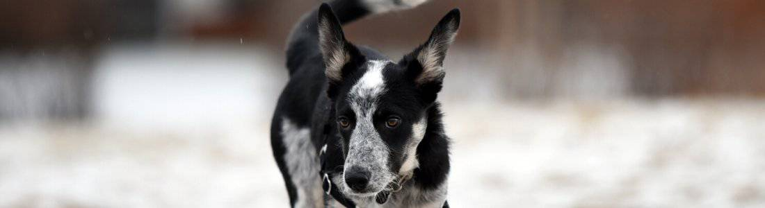 Black and white dog wearing a walking harness
