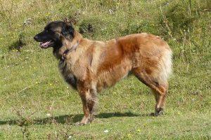 Estrela Mountain Dog on a farm