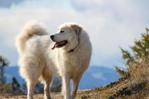 Great Pyrenees watching herd from hillside