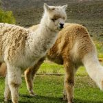 Are Llamas Good Guard Animals?