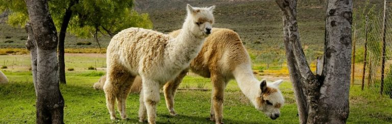 Guard Llamas grazing on a farm