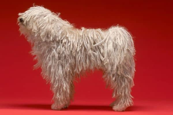 Komondor dog with dreads
