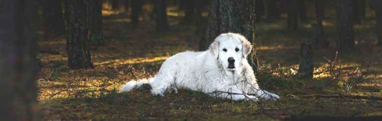White Kuvasz guardian dog laying down