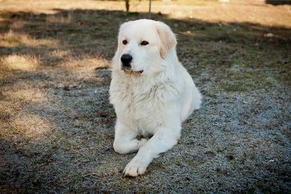 Maremma Sheepdog laying down outside