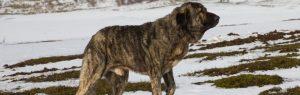 Mastiff dog on snowy mountain guarding livestock