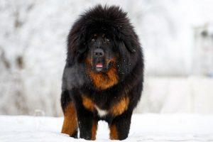 Tibetan Mastiff in the snow