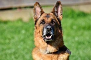 Brown German Shepherd