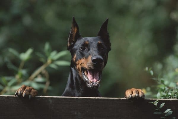 Doberman Looking over Fence