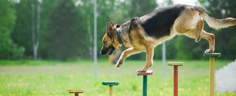 German Shepherd in Training