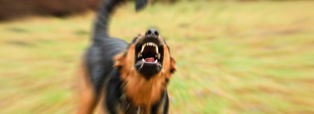 Protection Dog Baring Teeth