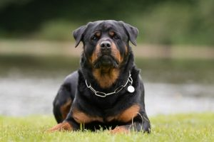 Rottweiler with chain around neck laying on grass