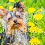 Yorkie Cost – How Much Are They? (With Real Breeder Prices!)