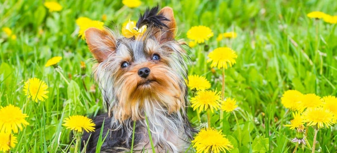 Cute Yorkie in Field of Flowers