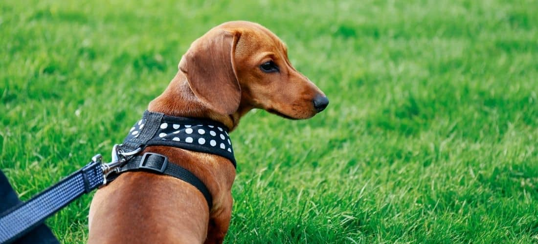Dachshund Wearing A Harness