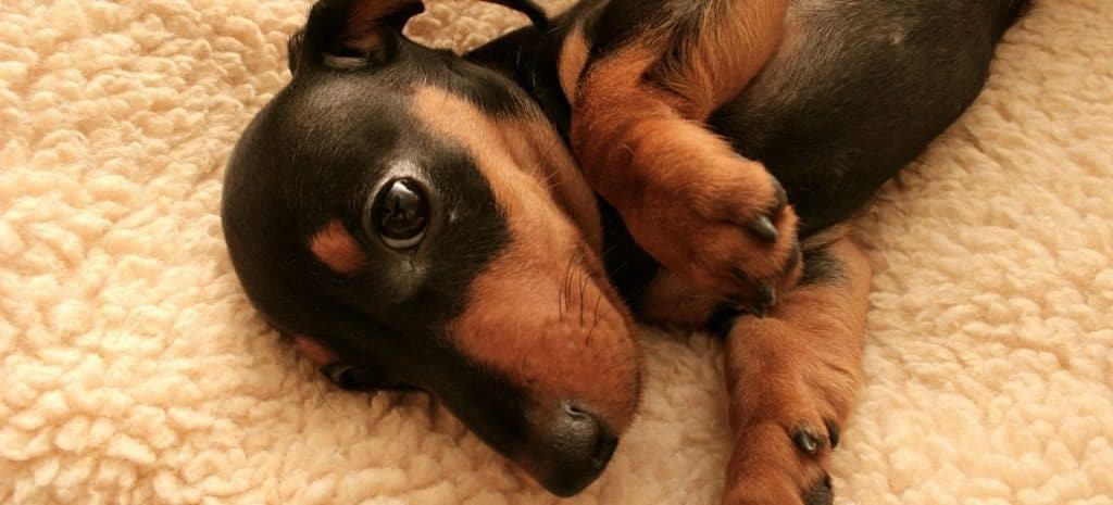 Mini Dachshund Laying on Floor