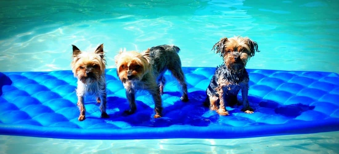 Three Yorkies in The Summer Pool