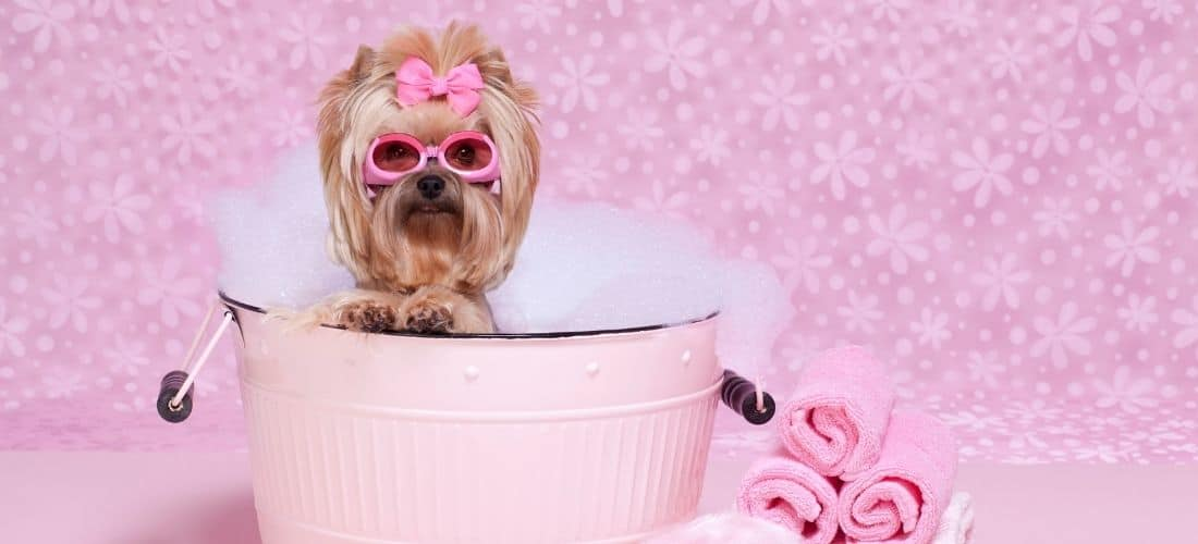 Yorkie With Pink Bow Taking A Bath