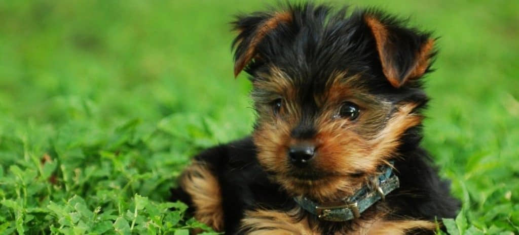 Yorkie With a Teddy Bear Cut