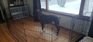 Large Breed Dog In Indoor Pen